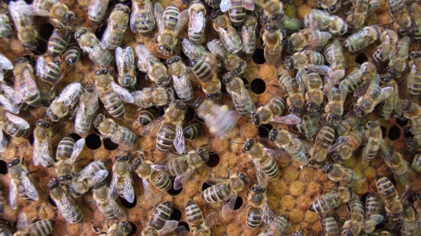 Bienen volkpg
