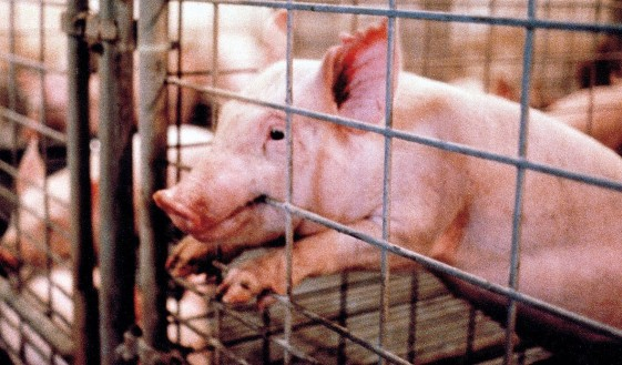 On Comparing Animal Agriculture to The Holocaust - Evan Anderson ...