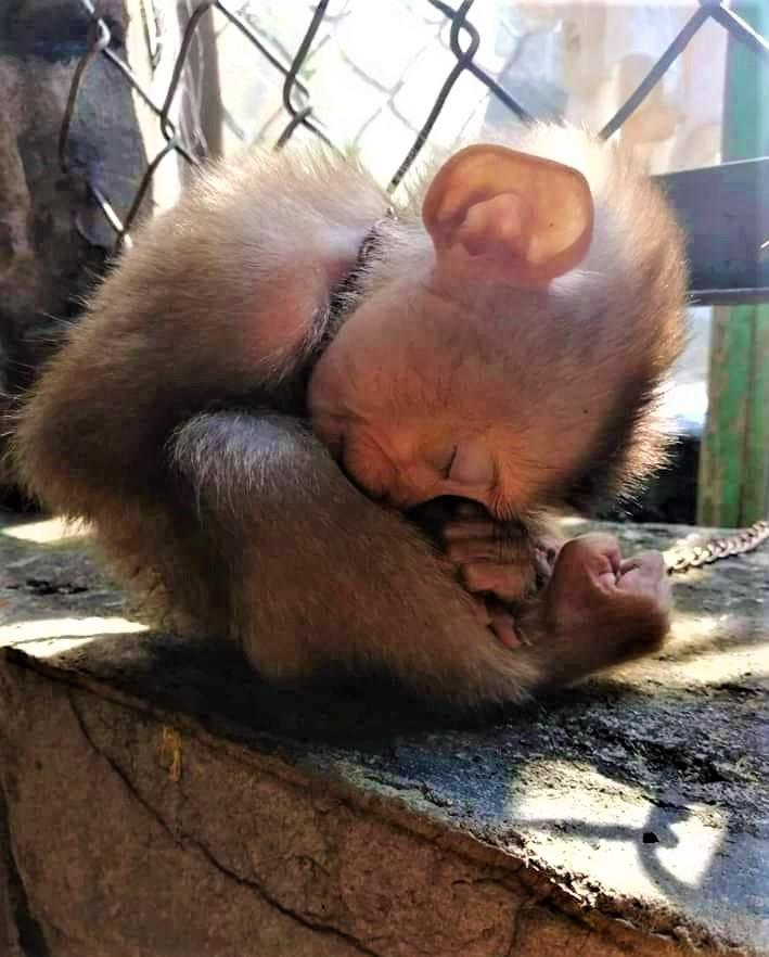 Äffchen in Ketten schlaffendpg