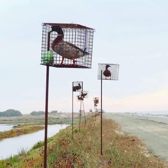 Enten als Lockmittel für ihre Artenpg
