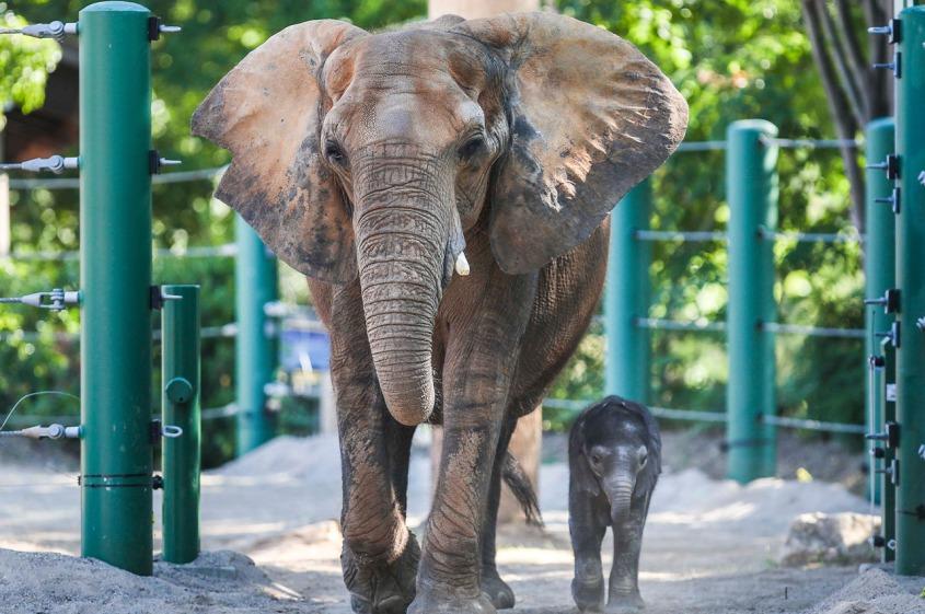 louisvillezoo Elephant Mikki