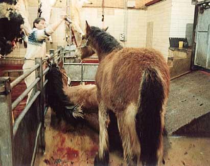 pferde im Schlachthofjpg