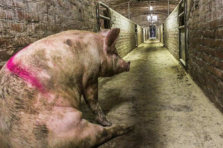 schwein alleinpg