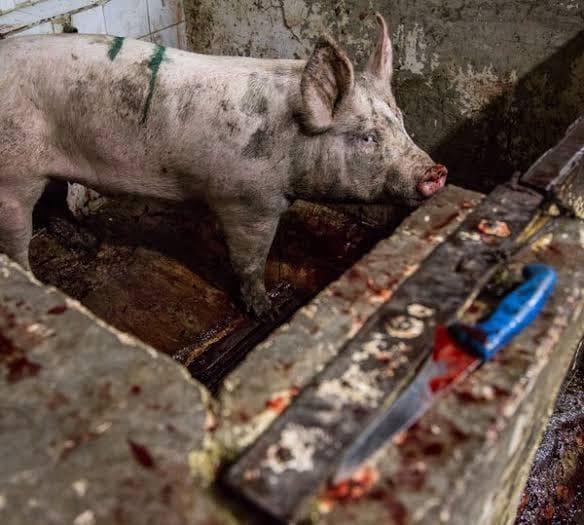 schwein mit Messer nebenanjpg