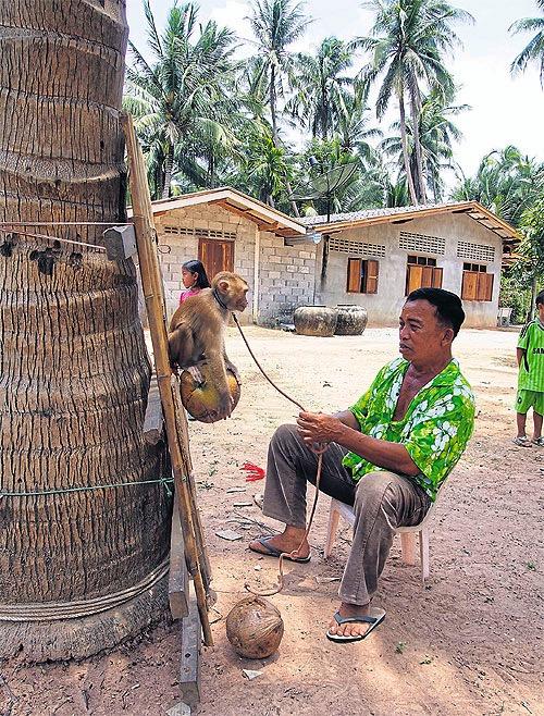 Affenhalter.Thailand jpg