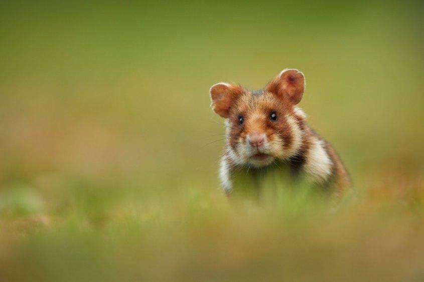 feld hamster