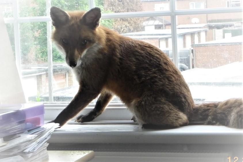 fox in office 1