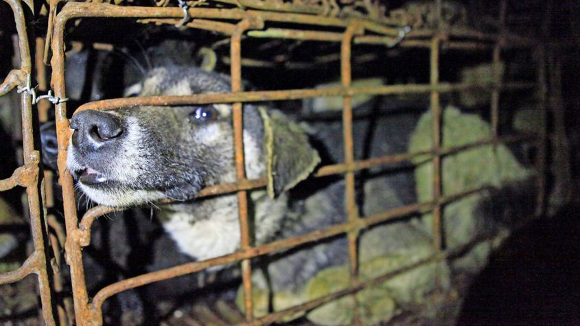 hund in Käfig Hundefleisch