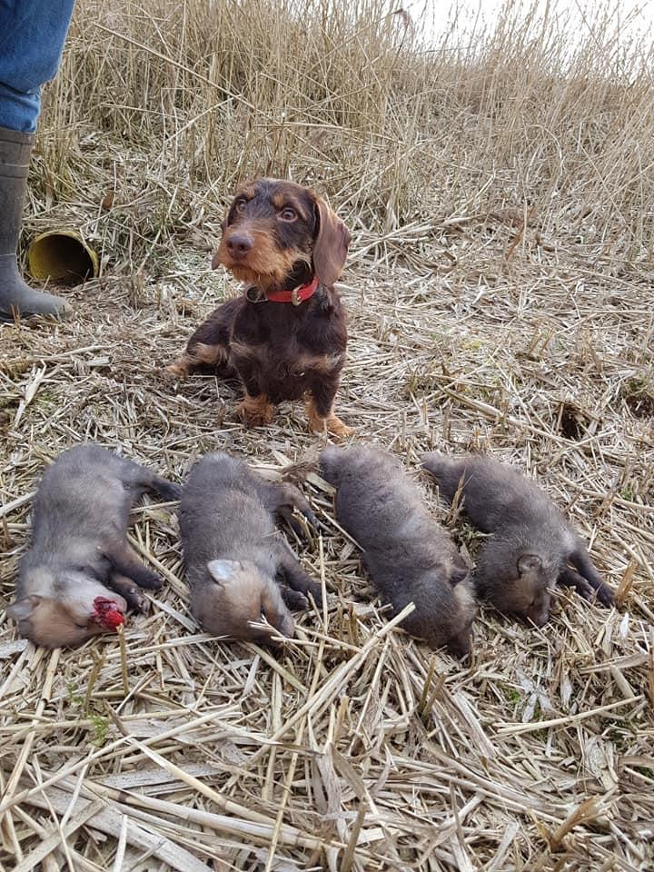 Hund und tote Fuchswelpenjpg