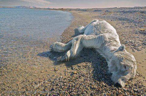 polar bear environment