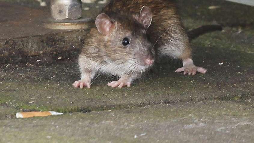 Ratte jpg