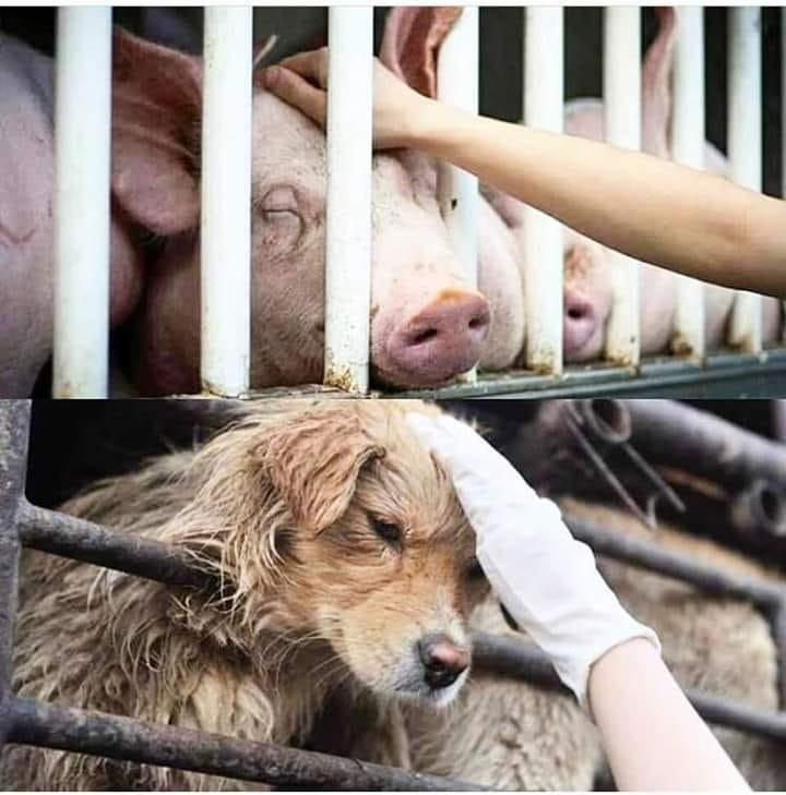 schweine-hunde parallelepg