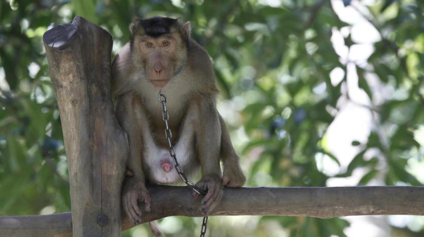 Coconut plucking monkey