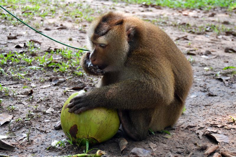 thailand--kokosnuss-farm-affe