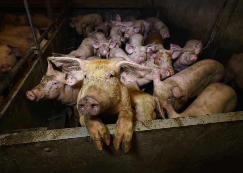 anonymous schweine