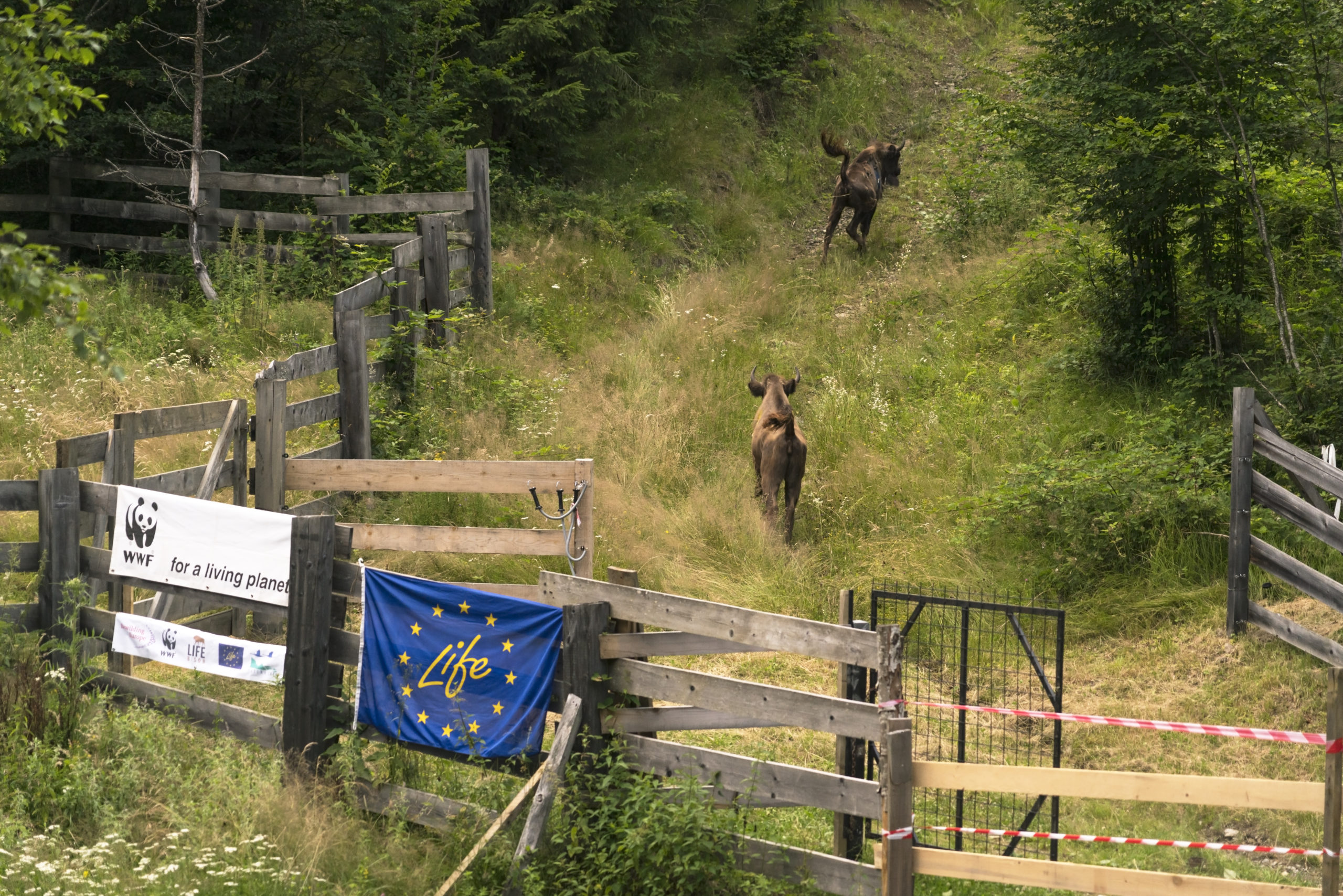 Bison-Rumänien 2 pg