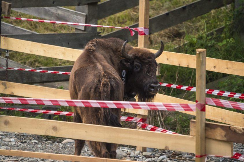 Bison-Rumänien 6