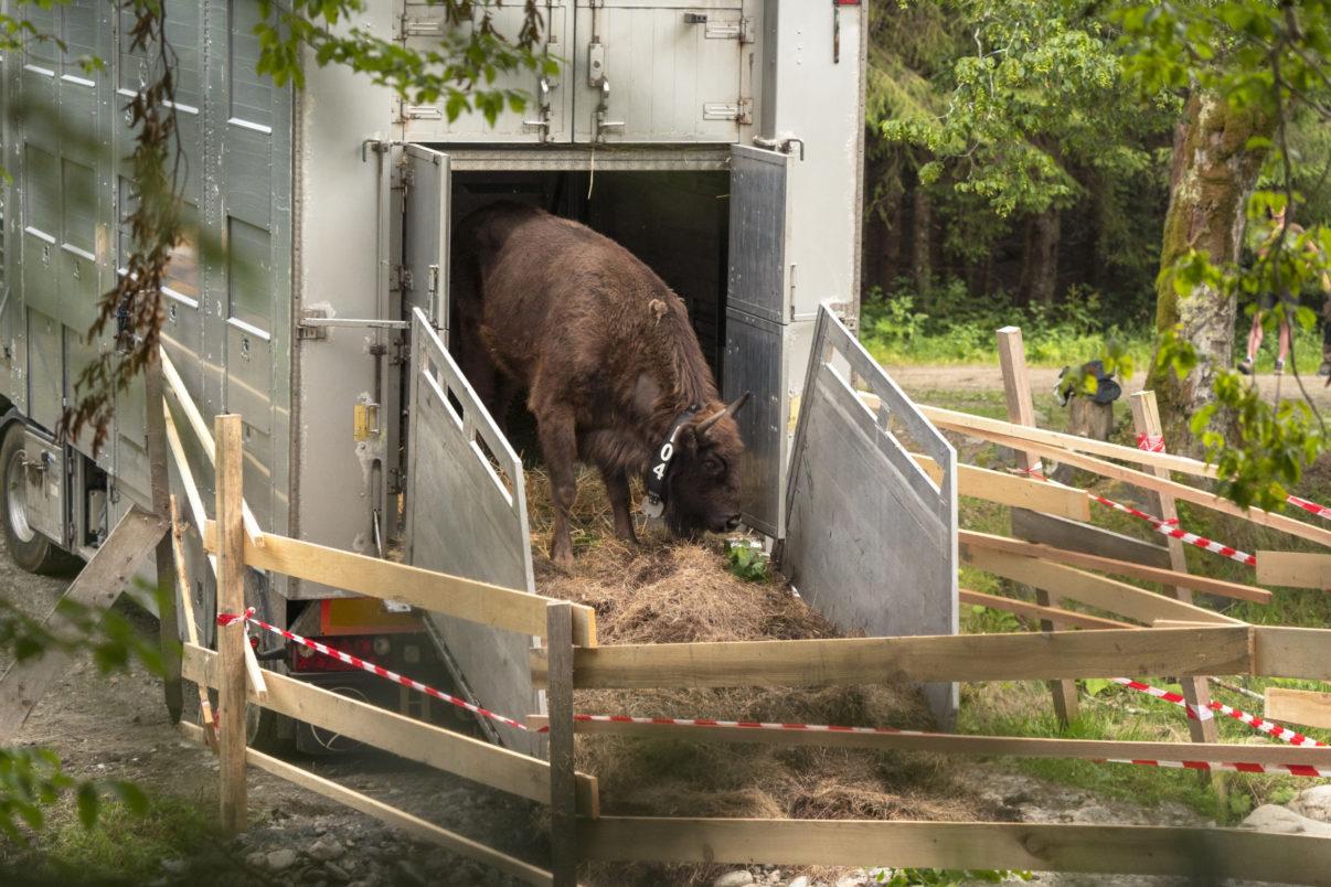 bison-Rumänien jpg