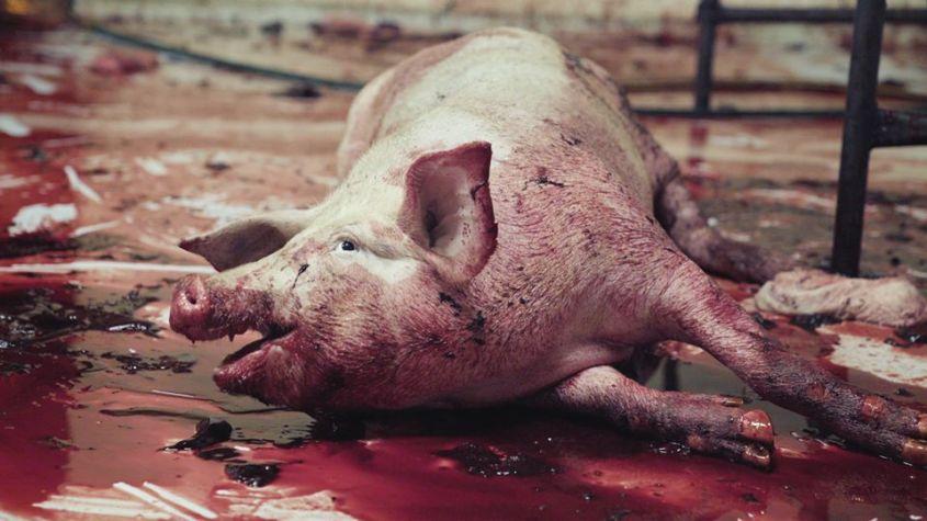 blutendes schwein