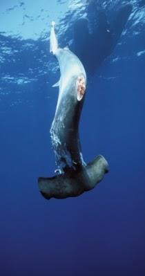 Don't be afraid of the shark...: BAN SHARK FINNING
